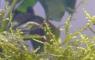 Spore de mousse de java